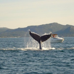 Humpback in Holyrood 2